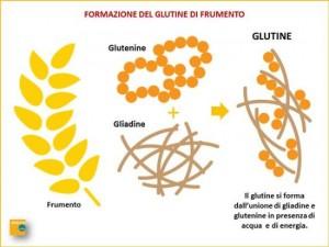 formazione-del-glutine