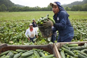 Immigrants working agricolture